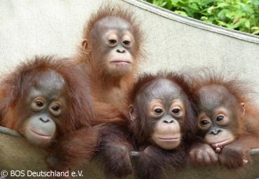 Borneo Orang-Utan Survival Foundation